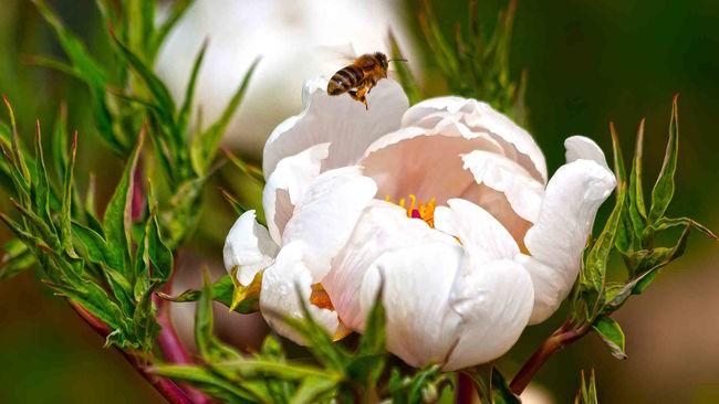 Pfingstrose (Paeonia)