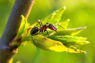 Ameise (Formicidae)