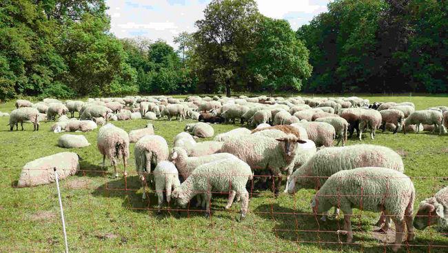 Gleueler Wiese mit Schafen Header