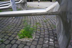 Gleditschie am Ebertplatz in Köln