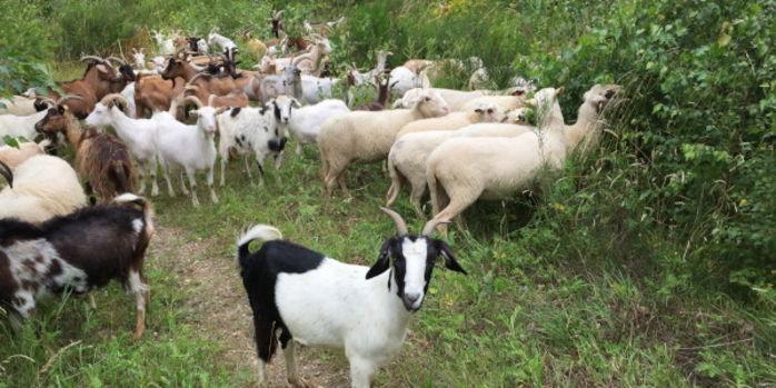 Ziegenherde in der Dellbrücker Heide