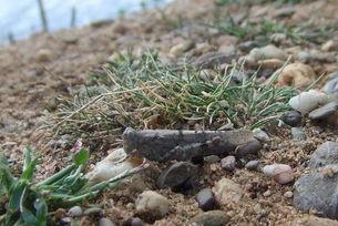 Blauflügelige Sandschrecke an den Gremberghovener Kiesgrubenseen