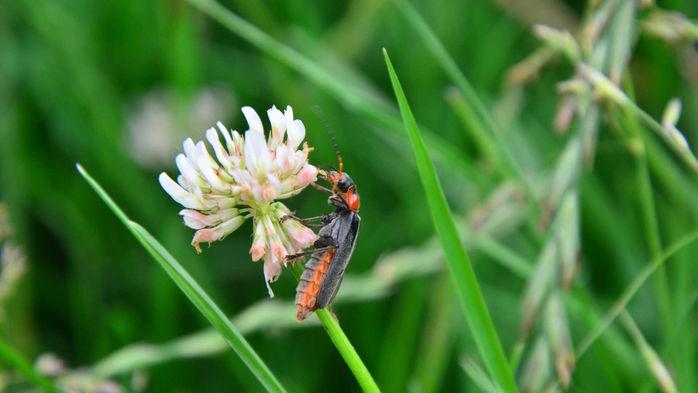Käfer auf Kleeblüte