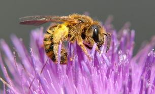 Gelbbindige Furchenbiene (Halictus scabiosae)