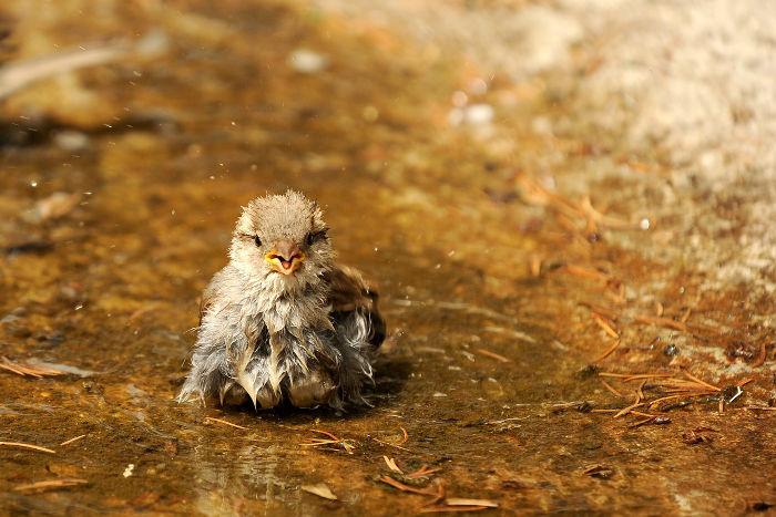 Spatz beim Wasserbad